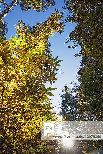 Deutschland  Rheinland-Pfalz  Pfälzer Wald  Edelkastanie im Herbst  Castanea sativa