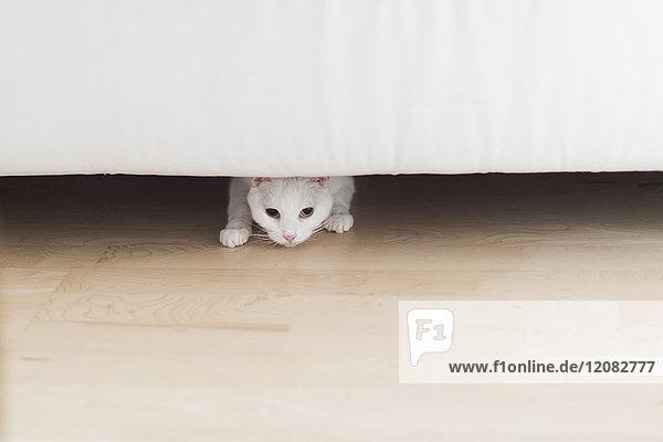 Weiße Katze, die zu Hause unter der Couch hockt.
