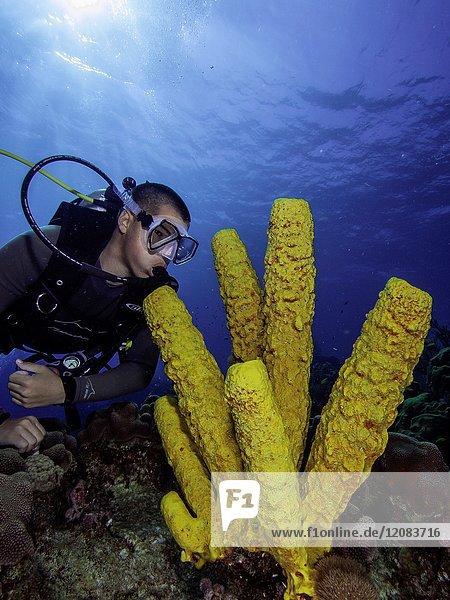 Caribbean Sea Los Roques  Scuba-Diver underwater photographer Tour  Underwater  Venezuela  Yellow Tube Sponge -Aplysina fistularis-