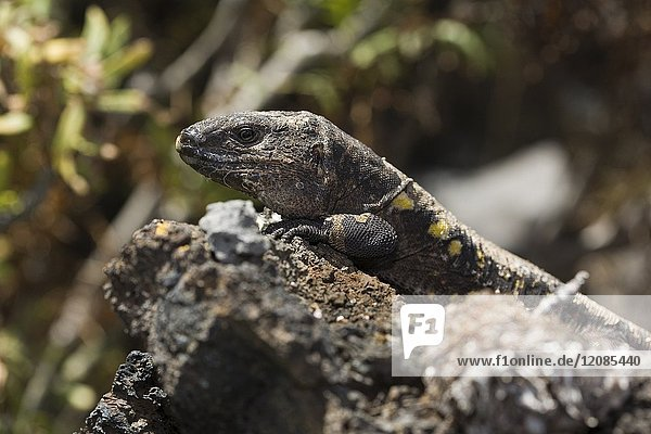 Adult specimen of the giant lizard of El Hierro. Lizard Gallotia of simonyi  place for the study and conservation of endemic lizard of El Hierro. The giant lizard of El Hierro.