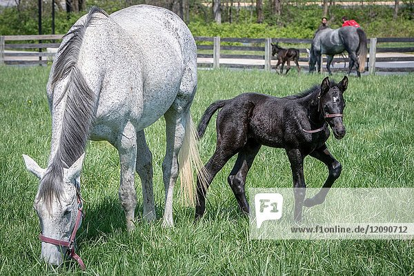 Mare and newborn foal graze in field together in College Park Maryland USA.