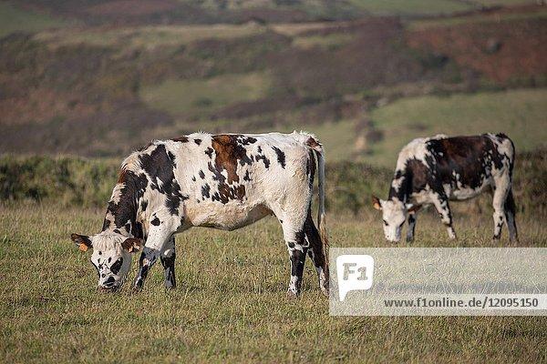 Cows grazing in field  La Hague  Normandy  France