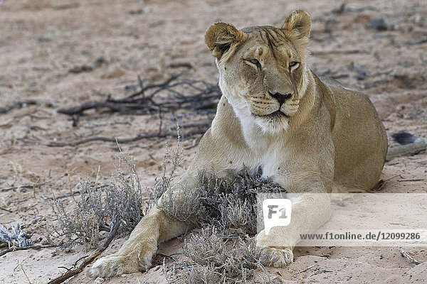 African lion (Panthera leo)  lioness lying on sand at dusk  Kgalagadi Transfrontier Park  Northern Cape  South Africa  Africa.