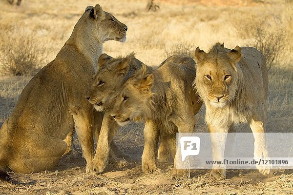 African Lion (Panthera leo) - Female and Youngs  Kgalagadi Transfrontier Park  Kalahari desert  South Africa.