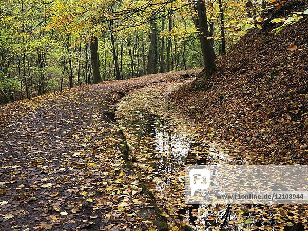 Fallen Autumn Leaves in the Mill Leat in Skipton Castle Woods at Skipton North Yorkshire England.