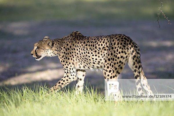 Cheetah (Acinonyx jubatus)  Kgalagadi Transfrontier Park  Kalahari desert  South Africa/Botswana.