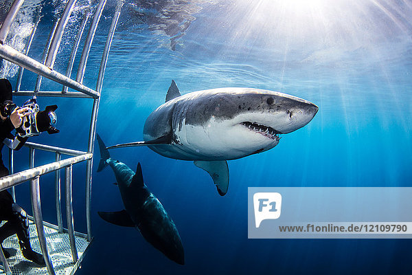 Diver photographing sharks from shark cage