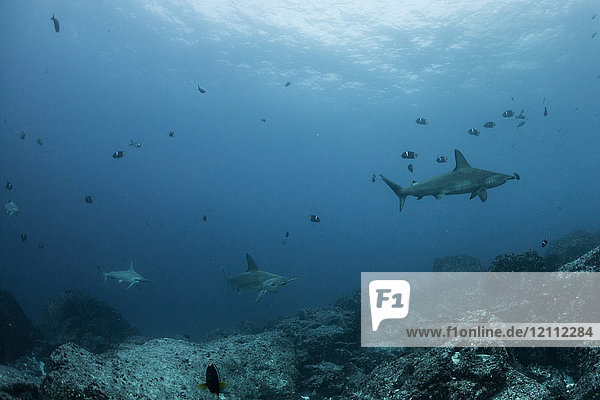 Sharks and fish by seabed  Seymour  Galapagos  Ecuador  South America