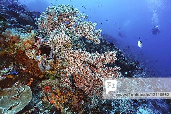 Rote Bäumchenkoralle (Nephthea)  Nusa Lembongan  Bali  Indonesien  Asien