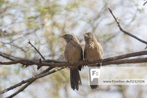 Asia  India  Rajasthan  Ranthambore National Park  Jungle babbler (Turdoides striata)