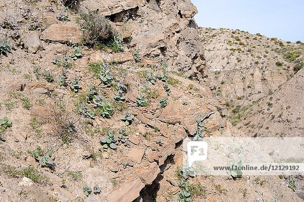 Collejon de Almeria (Moricandia foetida) is an annual plant endemic to southeastern Spain. This photo was taken in Desierto de Tabernas Natural Park  Almeria  Andalucia  Spain.