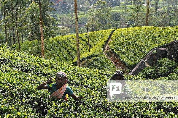 Women picking leaves in tea plantation around the Castlereagh Lake near Hatton  Sri Lanka  Indian subcontinent  South Asia.