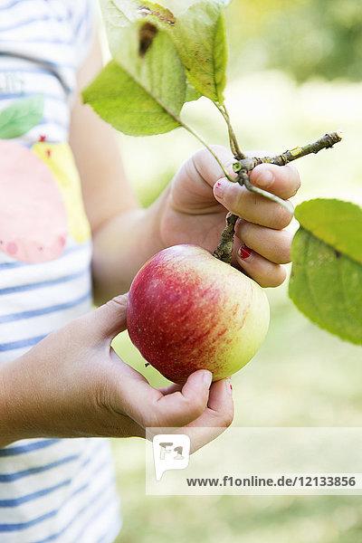 Hände des Mädchens beim Apfelpflücken Hände des Mädchens beim Apfelpflücken