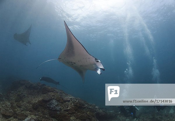 Indonesia  Bali  Nusa Lembongan  Reef manta ray and divers