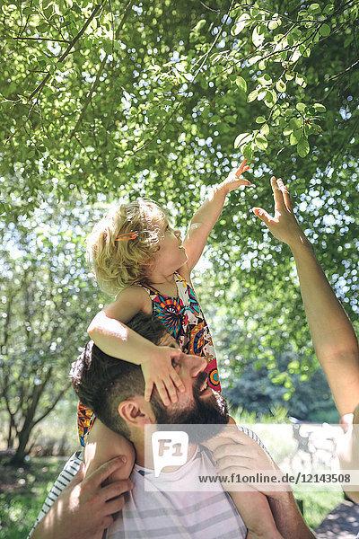 Kleines Mädchen auf den Schultern ihres Vaters  das einen Ast berührt.