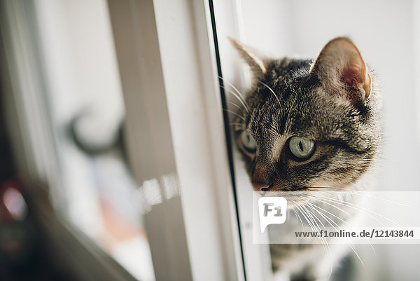 Tabby Katze beobachtet etwas Tabby Katze beobachtet etwas