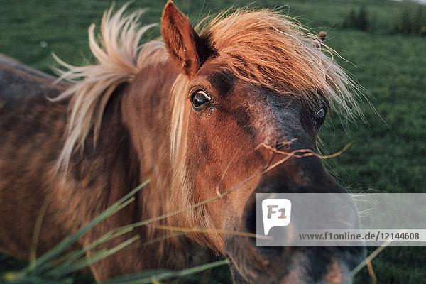 Frankreich  Seine-Maritime  Portrait des braunen Pferdes