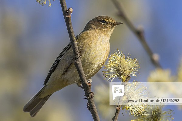 A common chiffchaff is sitting on a branch.
