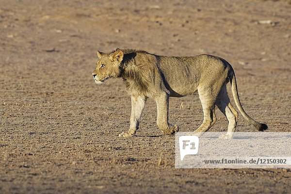 African lion (Panthera leo)  young male walking  evening light  Kgalagadi Transfrontier Park  Northern Cape  South Africa  Africa.