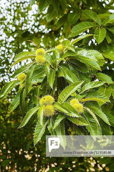 Leaves and chestnuts. Sweet chestnut (Castanea sativa). Antoñana  Campezo. Cuadrilla de Campezo-Montaña Alavesa. Alava  Basque Country  Spain  Europe.