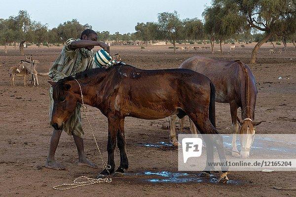 Washing horses
