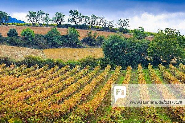 Vineyard in autumn. Ayegui  Navarre  Spain  Europe.