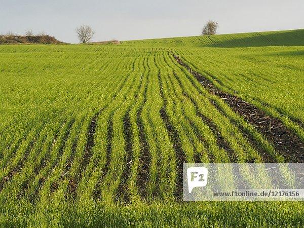 Wheat field in winter  Lauzun  Lot-et-Garonne Department  Aquitaine  France.
