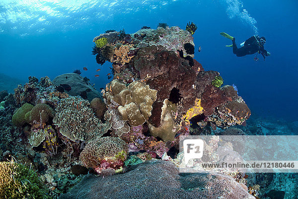 Indonesia  Bali  Nusa Lembonga  Nusa Penida  coral reef with feather stars and corals  diver