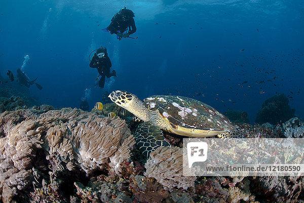 Indonesia  Bali  Nusa Lembonga  Nusa Penida  hawksbill turtle  Eretmochelys imbricata  and divers