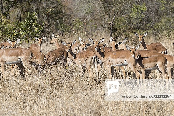 Africa  Southern Africa  South African Republic  Mala Mala game reserve  Impala (Aepyceros melampus)  group of females with a male.