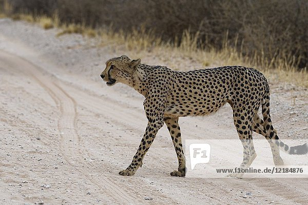 Cheetah (Acinonyx jubatus)  male crossing a dirt road  Kgalagadi Transfrontier Park  Northern Cape  South Africa  Africa.
