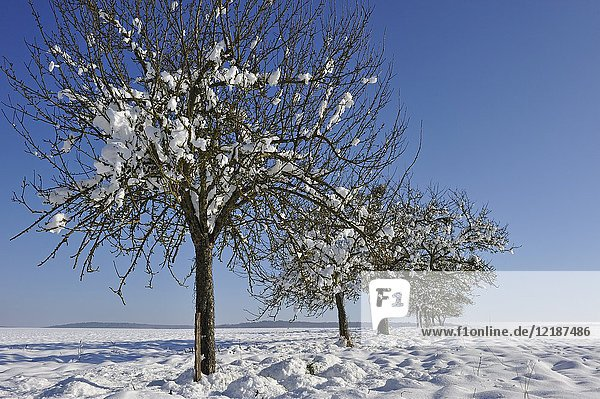 Apple trees covered with snow  department of Eure-et-Loir  Centre-Val-de-Loire region  France  Europe.