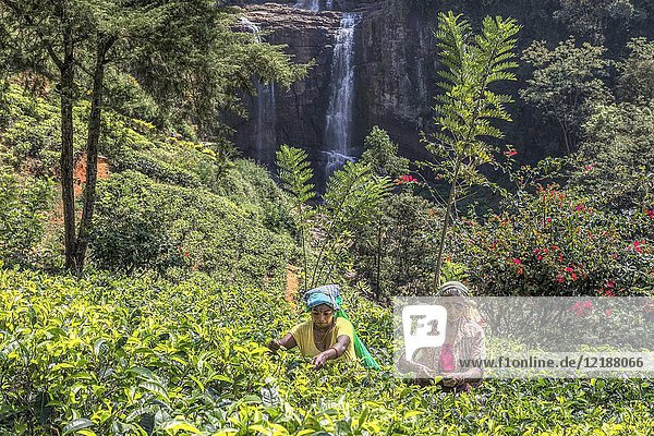 Tea pluckers  Ramboda Falls  Ramboda  Sri Lanka  Asia.