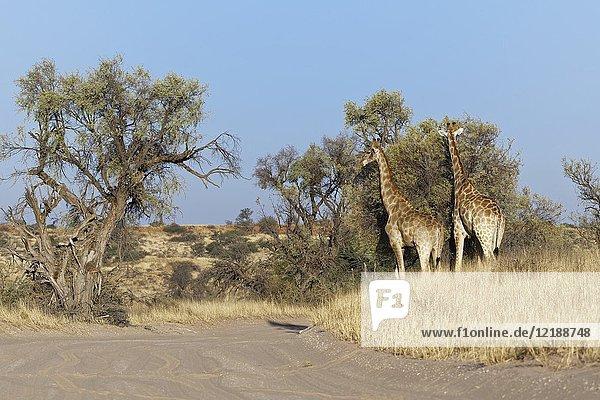 South African giraffes (Giraffa giraffa giraffa) feeding on leaves  Kgalagadi Transfrontier Park  Northern Cape  South Africa  Africa.