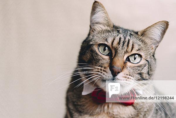 Portrait der Katze mit Kragen und roter Fliege