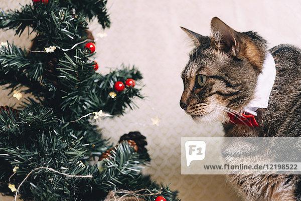 Tabbykatze mit Kragen und roter Fliege zur Weihnachtszeit