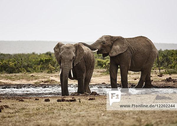 Südafrika  Eastern  Cape  Addo Elephant National Park  afrikanische Elefanten  Loxodonta Africana