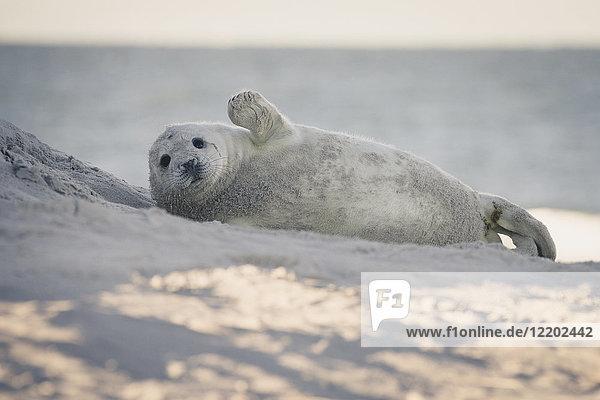 Deutschland  Helgoland  Seehund am Strand liegend