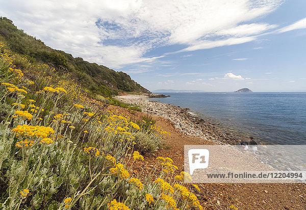 Wild flowers at Sansone Beach  Portoferraio  Elba Island  Livorno Province  Tuscany  Italy  Europe