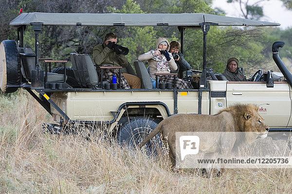 Lion (Panthera leo)  Khwai Conservation Area  Okavango Delta  Botswana  Africa