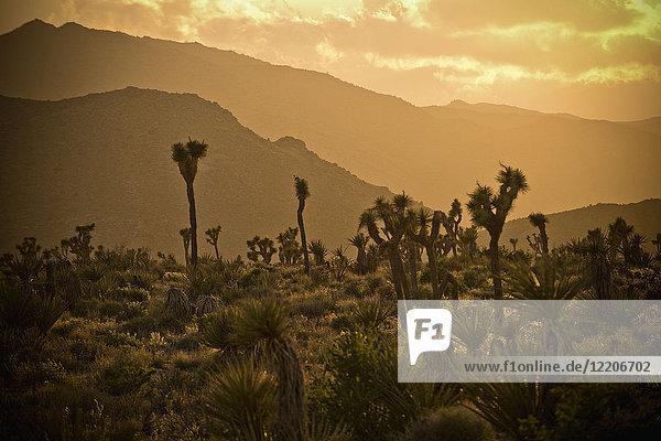 Cactus in desert landscape at sunset