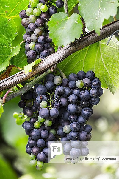 Grapes growing on a vine in Rhine river valley in Germany Europe.