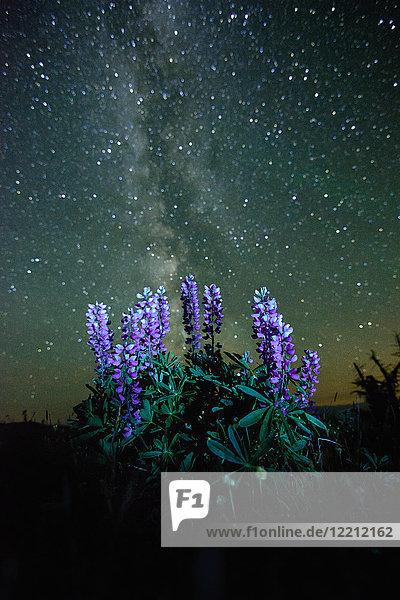 Lupinen (Lupinus polyphyllus) wachsen im Vordergrund  Milchstrasse am Nachthimmel sichtbar  Nickel Plate Provincial Park  Penticton  British Columbia  Kanada
