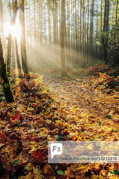 Sunlight shining through trees in forest  Bainbridge  Washington  USA