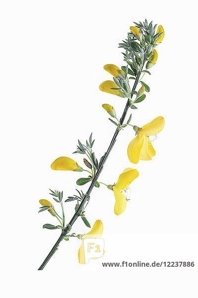 Ein Stängel Johanniskraut mit Blüten
