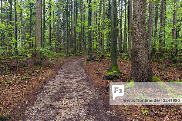 Trail through forest after rain at Spiegelau in the Bavarian Forest National Park in Bavaria  Germany