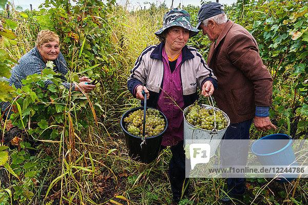 Harvesting Rkatsiteli grapes  Ikalto  near Telavi  Georgia  Central Asia  Asia