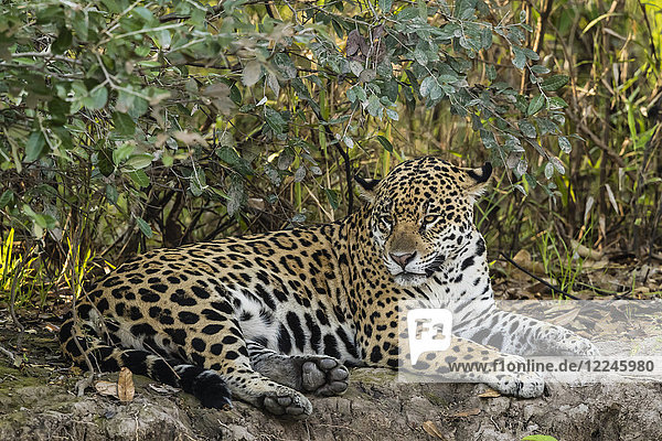 An adult female jaguar (Panthera onca)  resting on the riverbank  Rio Negro  Mato Grosso  Brazil  South America