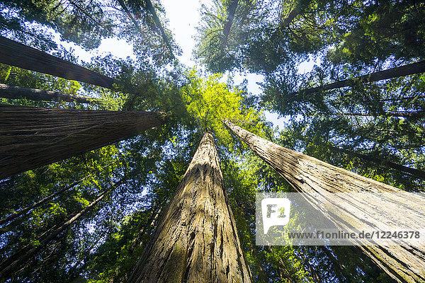 Redwood State Park  UNESCO World Heritage Site  California  United States of America  North America