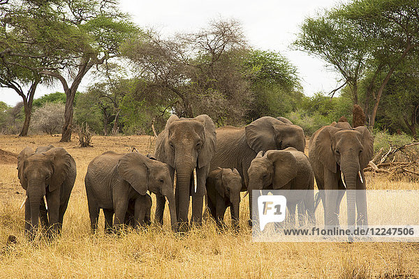 A family of elephants (Loxondonta africana) with their young standing together in Tarangire National Park  Tanzania  East Africa  Africa